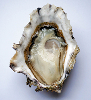 Golden Mantle Oyster